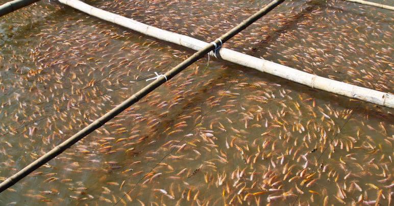 Healthy-Gut-Guide-Fish-Farm